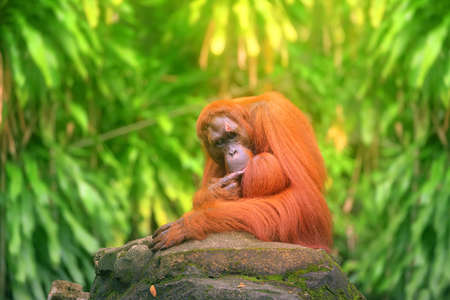 utang: Adult orangutan sitting with jungle as a background.