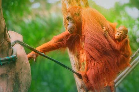 utang: Young orangutan is sleeping on its mother.