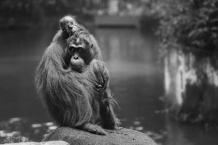 hominid: Young orangutan is sleeping on its mother.