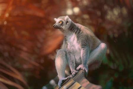 lemur: Ring-tailed lemur sun-loving primates sitting among trees.