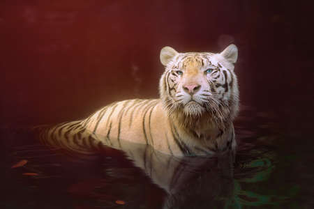 might: White tiger symbol of  success and might Stock Photo