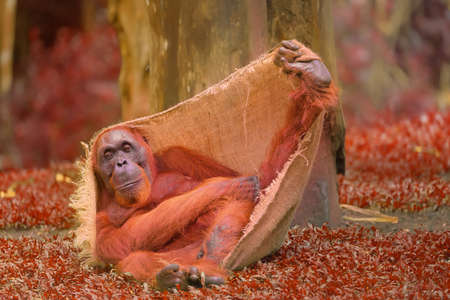 utang: Adult orangutan sitting with jungle as a background.