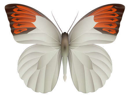 Great orange tip butterfly isolated on a white