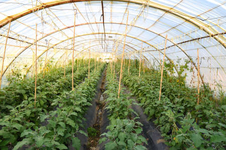 Rows of ripe eggplants on the branches in greenhouse, Purple eggplant fruits ripening on bushes in large commercial greenhouse. Industrial vegetables cultivation