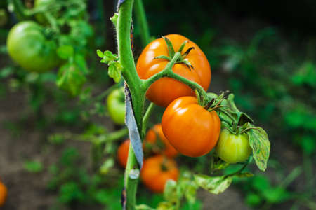 homegrown: homegrown tomatoes