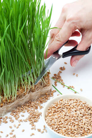 cutting wheat grass with scissors photo