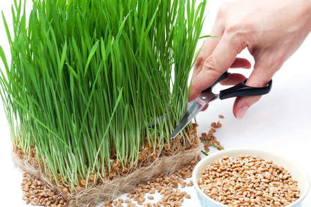 cutting wheat grass with scissors