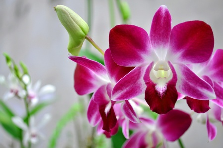 Lao orchid photo