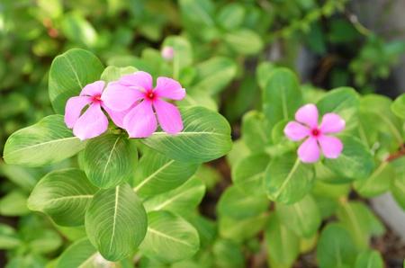 lao: Rose Lao floraison pourpier