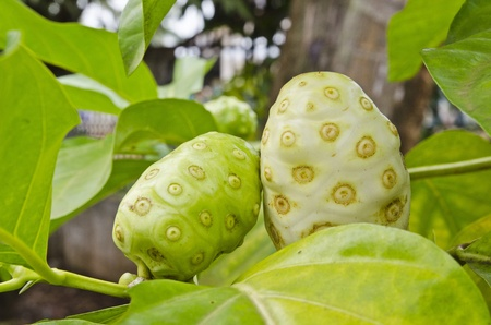 great morinda: Lao Great Morinda, Vientiane Stock Photo