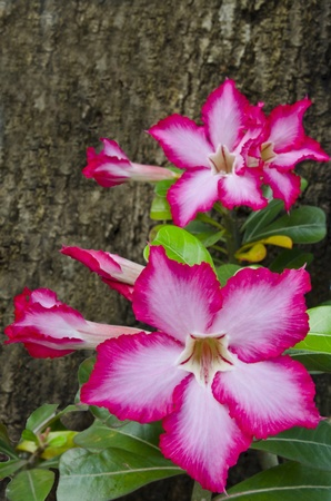 Beautiful  Impala Lily Adenium photo