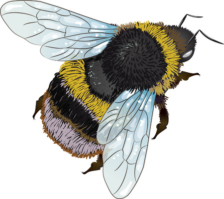 furry: Furry bumblebee, isolated on white, vector illustration, eps-10 Illustration