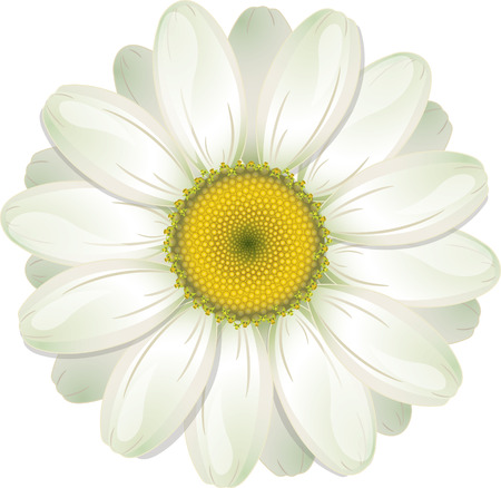 camomiles macro: White Daisy, isolated on white, vector illustration, eps-10