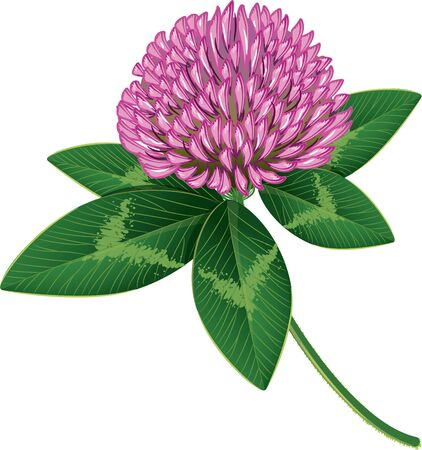 trifolium: Clover isolated on white, vector illustration, eps-10