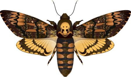 moth: Dead head moth isolated on white, vector illustration, eps-10