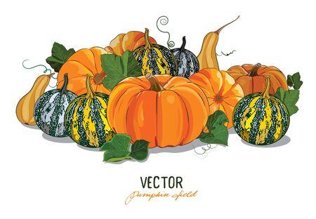 fruit stalk: Pumpkin. Crop large ripe pumpkins. Pumpkin field, isolated on white, vector illustration