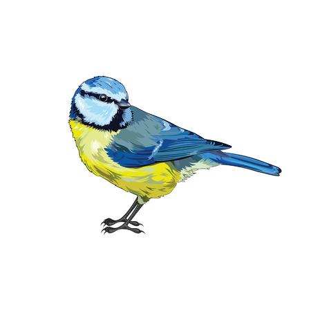 chickadee: Titmouse. Beautiful yellow blue tit, isolated on white, vector illustration