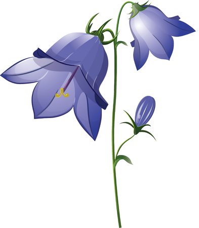 Campanula, flower bell isolated on white vector illustration, eps-10