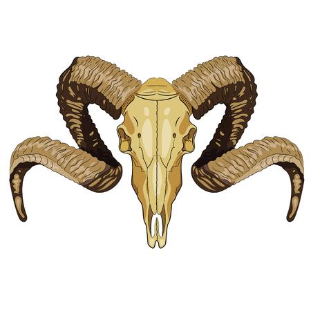 Ram bighorn skull isolated on white, vector illustration, eps-10 Illustration