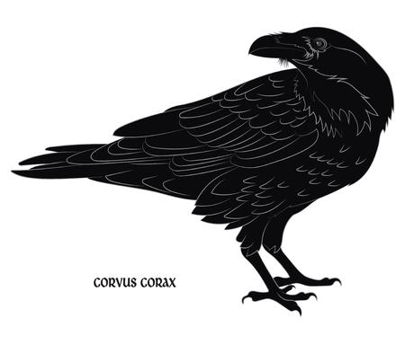Black crow. Corvus corax, isolated on white, vector illustration