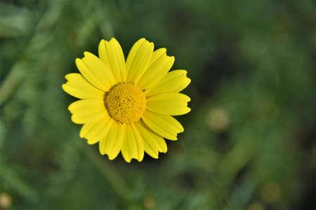 Arnica: Yellow flower, Arnica Stock Photo