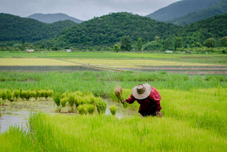 withdrawing: Rice farmers are withdrawing the seedlings