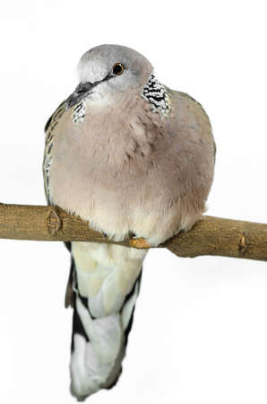 Mourning Dove on a white  Stock Photo