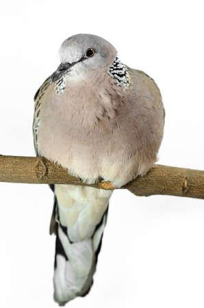 Mourning Dove on a white  Reklamní fotografie