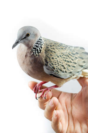 Mourning Dove on a white  photo