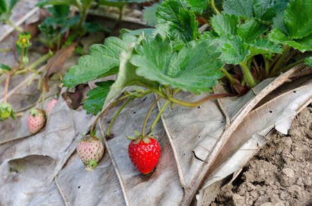 fresh strawberry grow at field photo