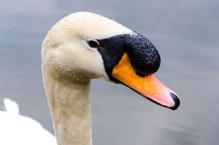 swan closeup in a lake photo