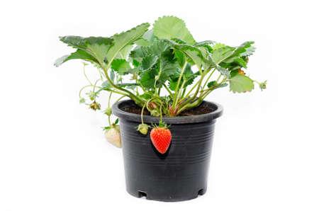 白い背景上に分離されて黒プラスチック鍋の若いイチゴの植物