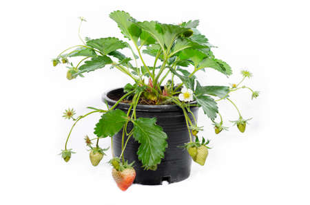 young strawberry plant in a black plastic pot isolated on white background
