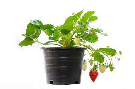 young strawberry plant in a black plastic pot isolated on white background photo