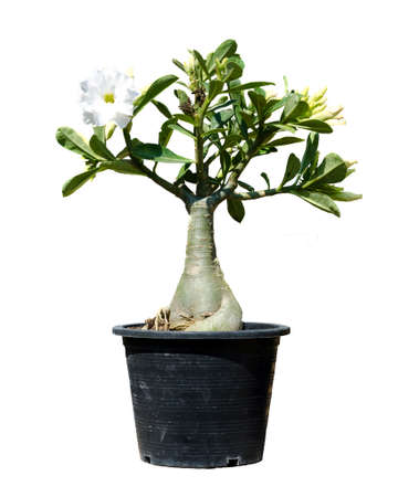 Adenium tree isolate on white background Stock Photo - 25704372