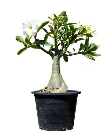 Adenium tree isolate on white background Stock Photo - 25704372