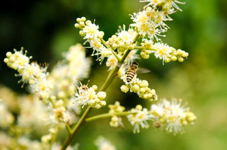 working bee collects flower nectar from longan flower Stock Photo