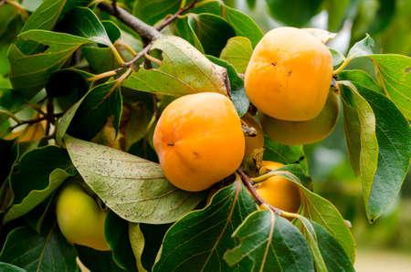 果樹園の果物の柿の木 写真素材