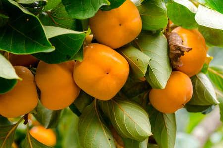 persimmon: �rbol de caqui con la fruta en el huerto Foto de archivo
