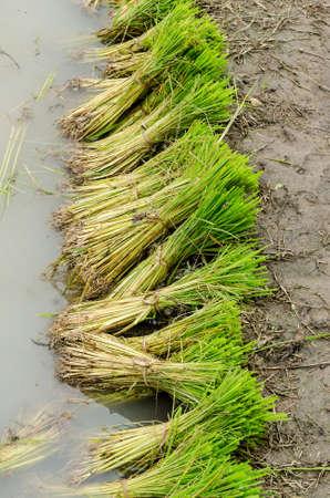 transplanting: Green rice seedling prepare for transplanting