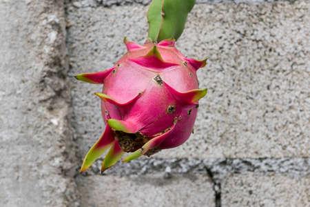 dragon fruit on a tree photo