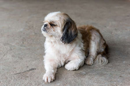 shihtzu: Sleppy Shih tzu dog  Stock Photo