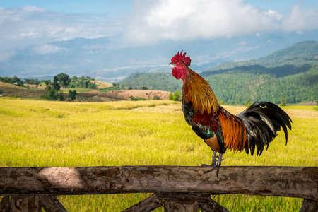 gallo: Gallo Foto de archivo