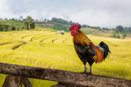 Roosters on the wooden pole photo