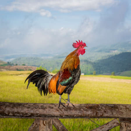 crowing: Roosters crowing on the wooden pole Stock Photo