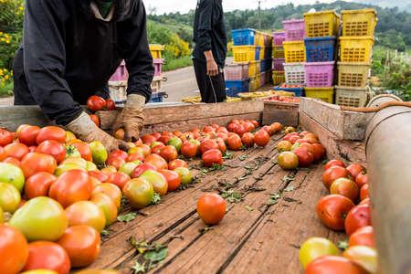 人間の手は、新鮮な完熟トマトを保持しています。