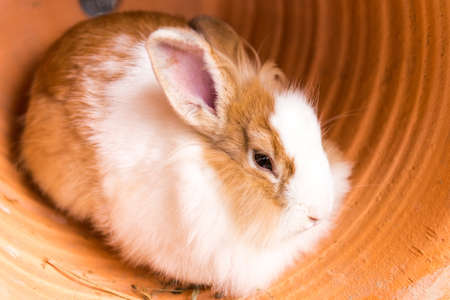 lop eared: Rabbit in the pot