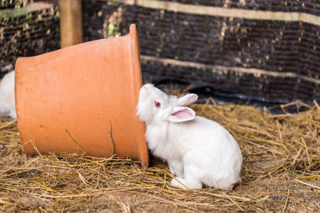 lop eared: Rabbit on a hay stack. Stock Photo