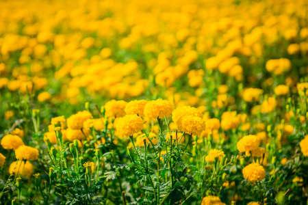 garden marigold: Marigold in the garden Thailand