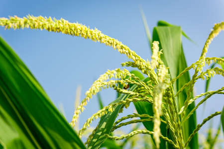 corn flower: Closeup of Corn flower. Stock Photo